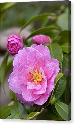Camellia Camellia X Williamsii Donation Canvas Print by VisionsPictures
