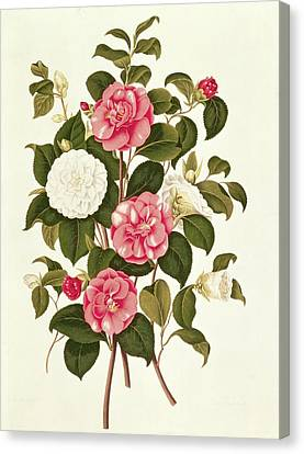 Camellia Canvas Print by English School