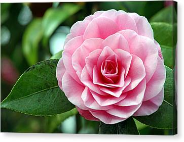 Camellia Flower (camellia Japonica) Canvas Print by Dr Keith Wheeler
