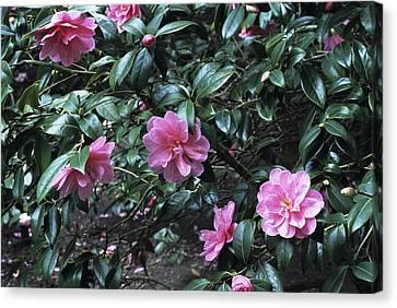 Camellia Flowers Canvas Print