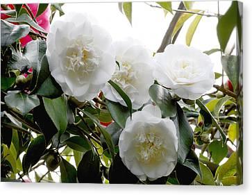 Camellia Flowers (camellia Japonica) Canvas Print