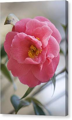 Camellia Japonica Canvas Print by Maria Mosolova