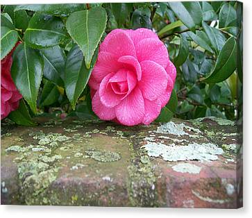 Camellia On Wall Canvas Print by Larry Bishop