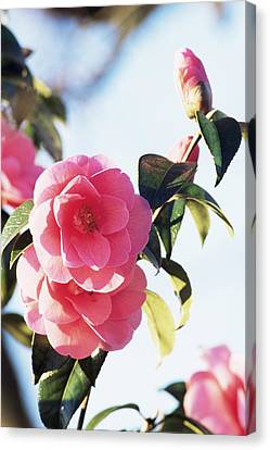 Camellia Canvas Print - Camellia X Williamsii 'donation' by Archie Young
