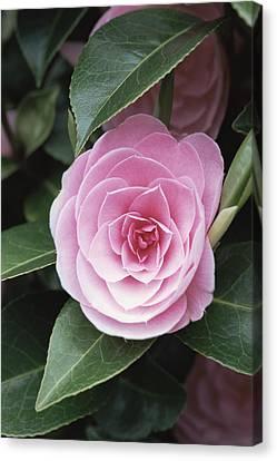 Camellia X Williamsii 'e G Waterhouse' Canvas Print