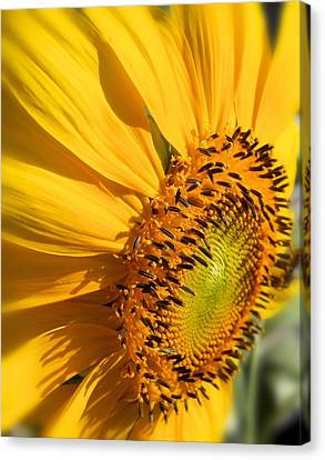 Canvas Print featuring the photograph Can You Say Sunshine by Lynnette Johns