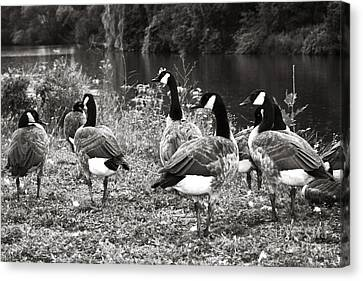 Canada Geese Canvas Print by Blink Images