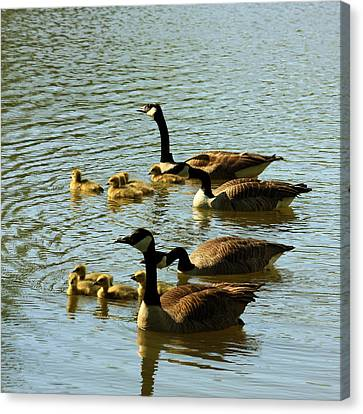 Canada Geese Families Canvas Print by Mark Codington