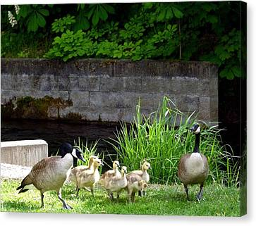 Canada Geese With Goslings Canvas Print by Will Borden