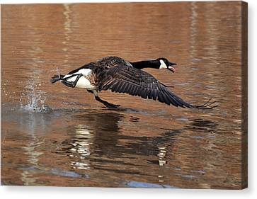 Canada Goose Above Pond - C0174d Canvas Print by Paul Lyndon Phillips