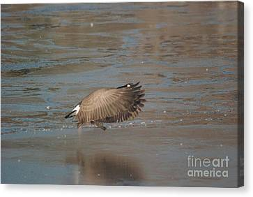 Canvas Print featuring the photograph Canada Goose In Flight by Mark McReynolds