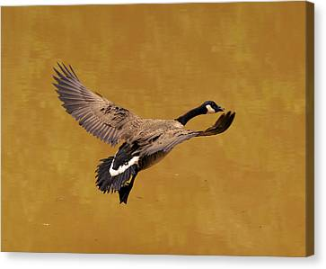 Canada Goose In Landing Approach  - C4557b Canvas Print by Paul Lyndon Phillips