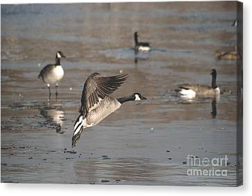 Canvas Print featuring the photograph Canada Goose In Mid-flight by Mark McReynolds