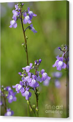 Canada Toadflax Canvas Print by Don Youngclaus