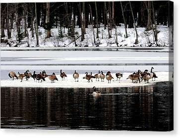 Canadian Gees At Farrington Lake Canvas Print by Aron Chervin