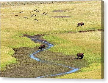 Flock Of Geese Canvas Print - Canadian Geese And Bison, Yellowstone by Brian Bruner