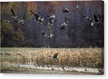 Canvas Print featuring the photograph Canadian Geese In Flight by Craig Lovell