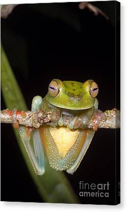 Canal Zone Tree Frog Canvas Print by Dante Fenolio