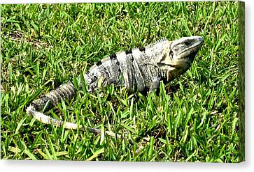 Canvas Print featuring the photograph Cancun Eguana by Rob Green