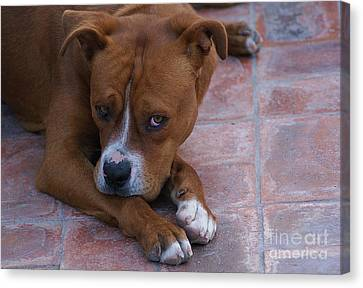 Canvas Print featuring the photograph Canelo With His Look by John  Kolenberg