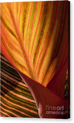 Canna Canvas Print by Annette Weiner