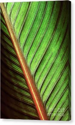 Canna Leaf Canvas Print by Neil Overy