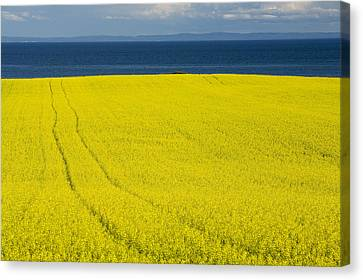 Canola Field, Guernsey Cove, Prince Canvas Print