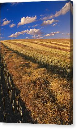 Canola Field, Tiger Hills, Manitoba Canvas Print by Dave Reede