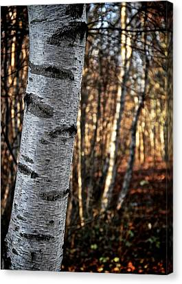 Can't See The Forest For The Tree Canvas Print by Odd Jeppesen