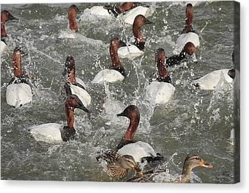 Canvasback Ducks In A Feeding Frenzy Canvas Print by George Grall