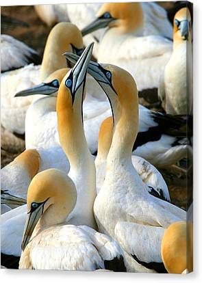 Cape Gannet Courtship Canvas Print
