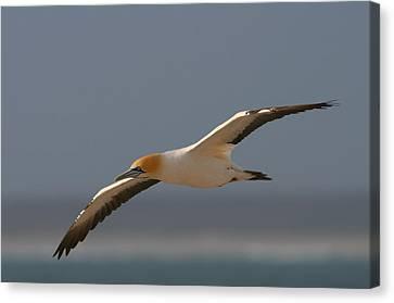 Cape Gannet In Flight Canvas Print by Bruce J Robinson