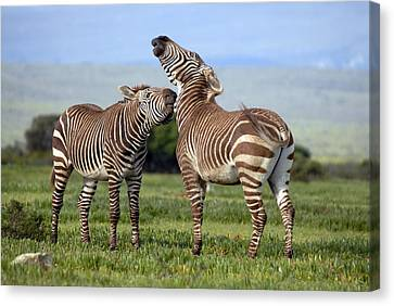 Cape Mountain Zebra Stallions Sparring Canvas Print by Peter Chadwick