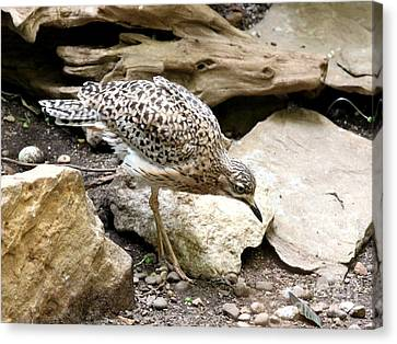 Cape Thick Knee Canvas Print by Jack R Brock