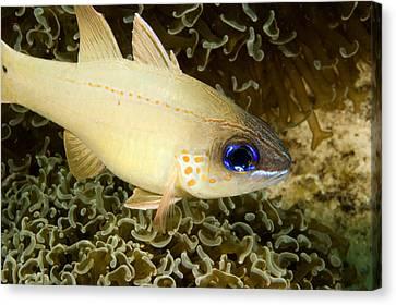 Cardinal Fish Sheltering In Anchor Canvas Print by Tim Laman