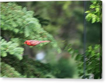 Canvas Print featuring the photograph Cardinal In Flight by Thomas Woolworth