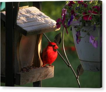 Canvas Print featuring the photograph Cardinal by Judy Via-Wolff