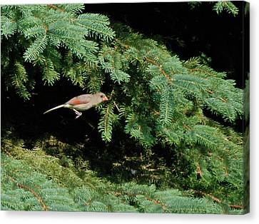 Canvas Print featuring the photograph Cardinal Just A Hop Away by Thomas Woolworth