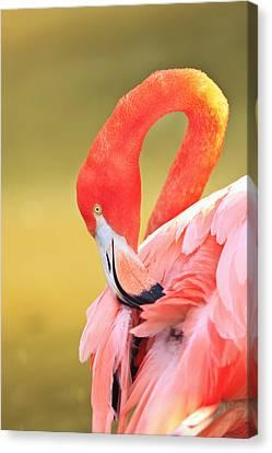 Caribbean Flamingo Phoenicopterus Rube Canvas Print by Stuart Westmorland