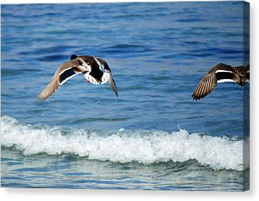 Carmel Bay And Duck In Flight Canvas Print by Harvey Barrison
