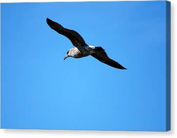 Canvas Print featuring the photograph Carmel Bird In Flight by Harvey Barrison
