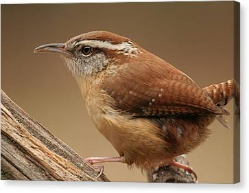 Canvas Print featuring the photograph Carolina Wren by Daniel Reed