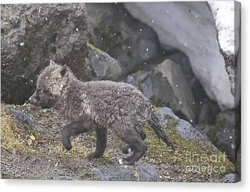 Cascade Red Fox Kit Canvas Print by Sean Griffin