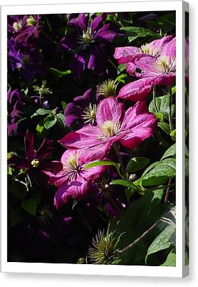 Canvas Print featuring the photograph Cascading Rose by Frank Wickham