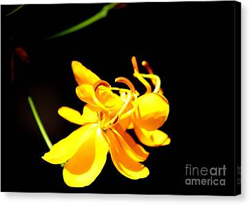 Cassia Blossom Canvas Print by Theresa Willingham