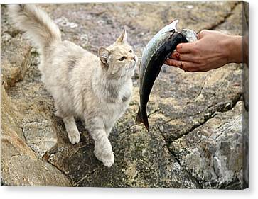 Cat Being Fed A Fish Canvas Print by Bjorn Svensson