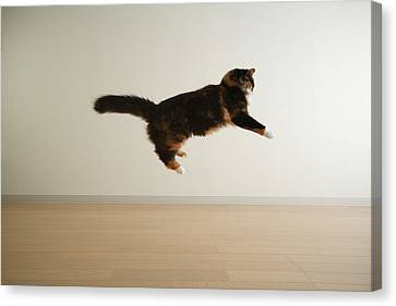 Cat Jumping In Air Canvas Print by Junku