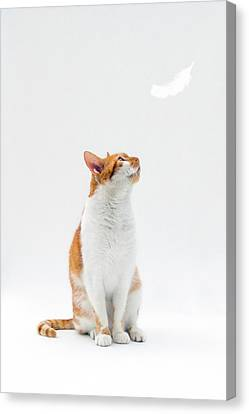 Cat Looking Up Towards Falling White Feather Canvas Print by Image by Catherine MacBride