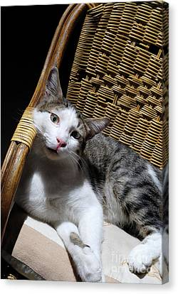 Cat Lying On Wooden Children Chair Canvas Print by Sami Sarkis