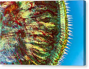 Cat Tongue Tissue, Light Micrograph Canvas Print by Dr Keith Wheeler